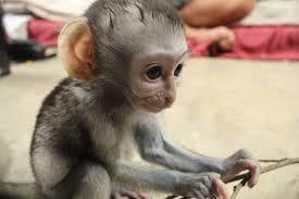 its baby season at the vervet monkey foundation volunteer world