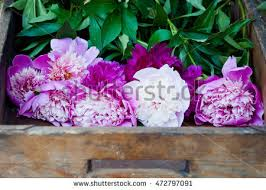 Peonies For Sale Farmer Peonies Stock Images Royalty Free Images U0026 Vectors