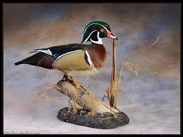 17 best ideas about duck 17 best taxidermy images on pinterest bird taxidermy taxidermy
