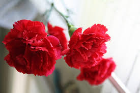 Red Carnations 10 Spanish Flowers You Should Know About U2013 Trip N Travel