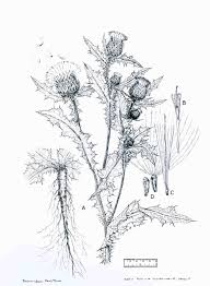 bull thistle web page