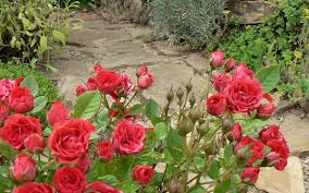download wallpaper 3840x2400 roses flowers garden green walking