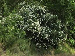 native plants in california california bush anemone sierra foothill garden