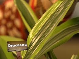 Indoor Plants Low Light Hgtv by Q U0026a Leaf Spots On Dracaena Hgtv