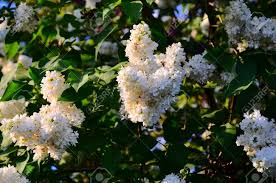 Shrub With Fragrant Purple Flowers - white lilac large garden shrub with purple or white fragrant