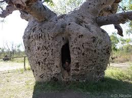 baobab trees rebrn