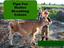 Backyard Cattle Raising Tips For Halter Breaking Calves Critters Pinterest Cattle