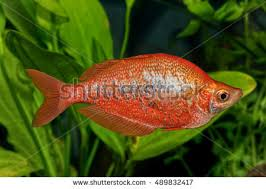 rainbow fish stock images royalty free images u0026 vectors