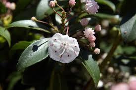 kalmia latifolia file kalmia latifolia 27zz jpg wikimedia commons