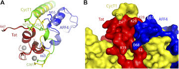 aff4 binding to tat p tefb indirectly stimulates tar recognition