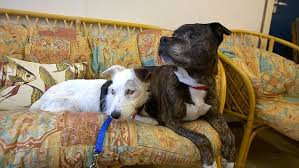 Blind Dog And Friend Blind Jack Russell With His Own Guide Dog Looking For A New Home