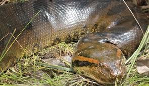 vidio film ular anaconda 33 foot monster anaconda discovered at brazilian construction site