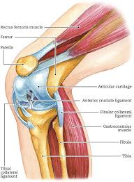 Back Knee Anatomy 99 Best Functional Anatomy Images On Pinterest Massage Therapy