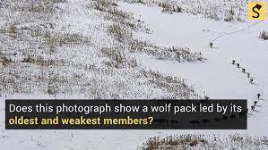fact check wolf pack behavior