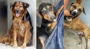 cani in cerca di casa adotta un in difficolt罌 pit bull segugio e pastore belga in