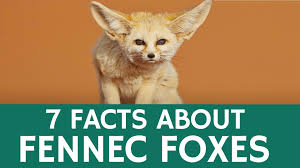 interesting facts about thanksgiving fun facts about fennec foxes u2013 cute and exotic desert animals for
