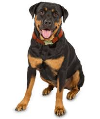 belgian shepherd x rottweiler rottweiler puppies rottweiler rescue and adoption near you