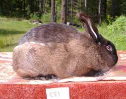 How Do I Get Rid Of Rabbits In My Backyard The Molting Cycle In Rabbits Rise And Shine Rabbitry