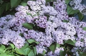 Identify Flowers - how to identify lilacs hunker