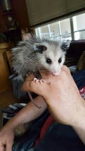 557 best pogo the possum and his cousins images on pinterest