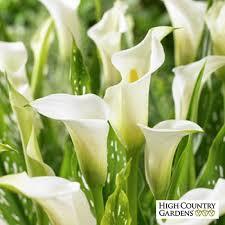 white calla calla albomaculata florist s calla zantedeschia