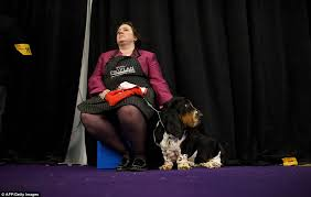 bluetick coonhound westminster westminster kennel club show kicks off as 2 700 dogs get primped