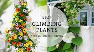 18 best climbing plants for pergolas arbors trellises youtube
