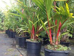 native hawaiian plant nursery red sealing wax palms for sale at kauai seascapes nursery
