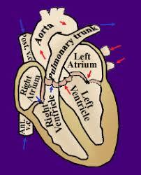 Sheep Heart Anatomy Quiz Anatomy Of The Sheep Heart