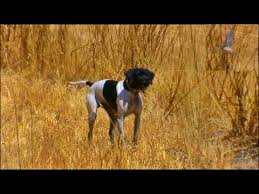 australian shepherd hunting hunting dogs in action youtube