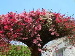 121 best beauteous bougainvillea images on pinterest