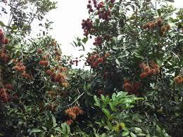 excalibur fruit trees fruits
