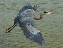 heron meaning hinterland who u0027s who great blue heron