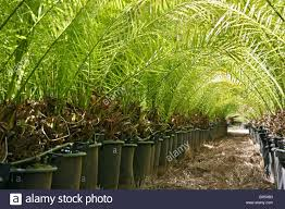 family tree garden center palm trees in a garden centre stock photo royalty free image