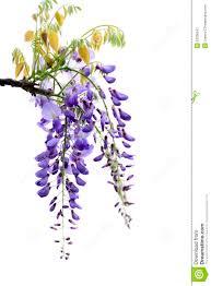 wisteria flowers stock photo image 52336167