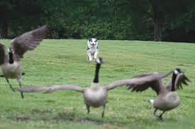 8 year old australian shepherd kiwi the geese herder this dog u0027s for the birds