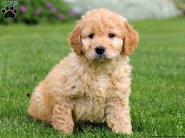 goldendoodle puppy virginia mini goldendoodle looks like a teddy so sweet