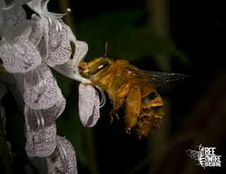 plants that are native to australia a pollination predicament bumblebees and their presence in