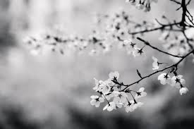 white flower free stock photo of black and white branch cherry blossom