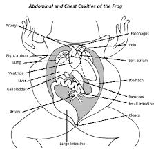 frog dissection biology junction