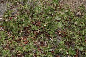 douglas maple acer glabrum pacific northwest native tree arctostaphylos nevadensis pinemat manzanita washington plant