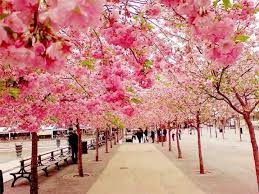 awe inspiring trees 7 cherry blossom trees japan koshersamurai
