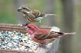 Texas birds images Typical feeder birds north central texas birds jpg