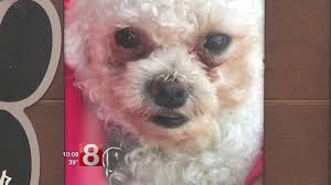 bichon frise golf head cover coyote kills family dog in new london wtnh connecticut news