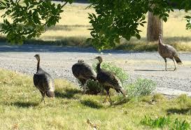 turkeys in the desert desert road trippin u0027
