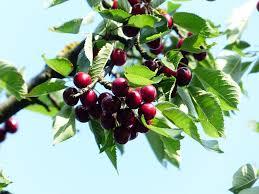 Cherry Tree Fruit - burgundy pearl cherry tree zone 4 8 u2013 winter cove farm