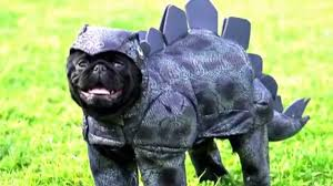 pug halloween costume for baby pug costume compilation youtube