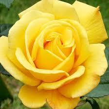 Fragrant Rose Plants - 1923 best flowers gardens etc images on pinterest flowers