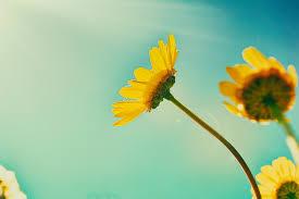 foto wallpaper bunga matahari free images nature blossom sky sunlight flower petal pollen