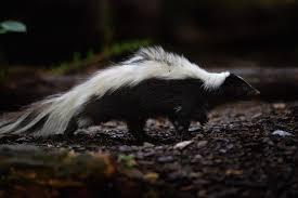 arvada skunk tests positive for rabies 9news com